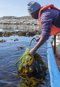 Harvesting kelp from South African waters