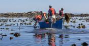 Four fishers harvesting kelp
