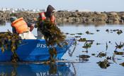 Harvesting South African kelp