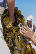 Kelp in good hands