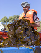 Processing kelp in South Africa