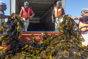 Kelp transported into truck