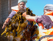 Kelp handed over into truck