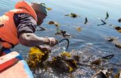 Kelp/Seaweed harvesting South Africa