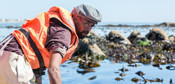 Kelp harvester South-Africa