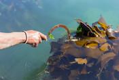 Kelp harvested with machete