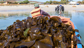 Kelp harvester on boat dragged upon beach