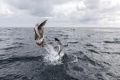 Seagulls catching food