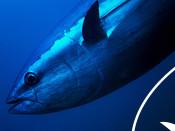 Close-up tuna head and anterior body