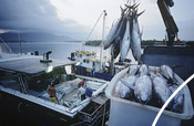 Fishing ship loads tuna into a container