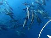 Dolphins swimming with Yellowfin Tuna