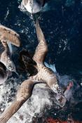 Sea gulls at sea fish in mouth
