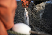Close up of salmon in fishing net | Wild Alaska Salmon Fishery Visit, Bristol Bay