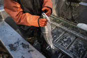 Fisherman holding salmon, close up | Wild Alaska Salmon Fishery Visit, Bristol Bay