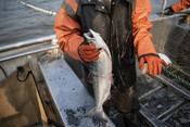 Fisherman holding salmon close up | Wild Alaska Salmon Fishery Visit, Bristol Bay