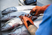 Whole salmon on table with hands | Wild Alaska Salmon Fishery Visit, Bristol Bay