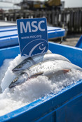 Salmon on ice with MSC ecolabel sign | Wild Alaska Salmon Fishery Visit, Bristol Bay