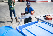 Putting fish in tote | Wild Alaska Salmon Fishery Visit, Bristol Bay