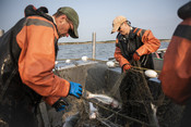 Fishermen pulling salmon out of net | Wild Alaska Salmon Fishery Visit, Bristol Bay
