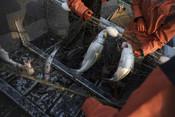 Salmon in fishing net | Wild Alaska Salmon Fishery Visit, Bristol Bay