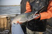 Fisherman holding salmon, close up | Wild Alaska Salmon Fishery Visit, Bristol Bay
