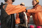 Fishermen handling salmon | Wild Alaska Salmon Fishery Visit, Bristol Bay