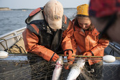 Salmon in net | Wild Alaska Salmon Fishery Visit, Bristol Bay