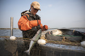 Fisherman pulling salmon out of net | Wild Alaska Salmon Fishery Visit, Bristol Bay