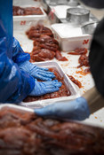 Processing, up close salmon in trays with hands | Wild Alaska Salmon Fishery Visit, Bristol Bay