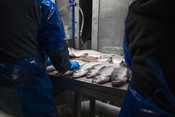 Processing, salmon on a counter | Wild Alaska Salmon Fishery Visit, Bristol Bay