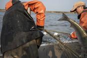 Fishermen pulling net in, fish tail   Wild Alaska Salmon Fishery Visit, Bristol Bay