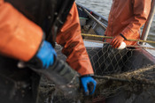Net with fish in it, detail shot | Wild Alaska Salmon Fishery Visit, Bristol Bay