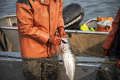Fisherman taking salmon out of net | Wild Alaska Salmon Fishery Visit, Bristol Bay