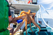 Fremantle Octopus, a license holder within the Western Australia octopus fishery