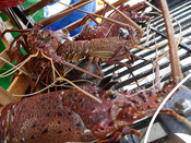 Lobster in a trap Western Rock Lobster