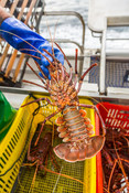 Fisherman holding Western Australian Rock Lobster