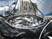 Echebastarfleet Slu: Growing sustainability in tuna fishing by quantifying impacts of FADs on sharks