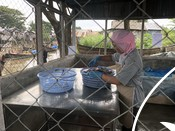 Minimising fishing impacts on Indonesian squid stocks
