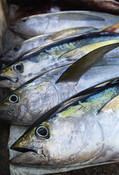 Fresh catch of Yellowfin tuna
