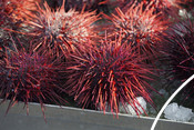 Red sea urchins