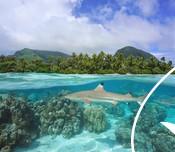 Black tip reef shark under ocean surface