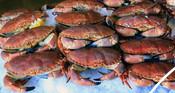 Brown (edible) crabs on ice