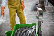 Weighing fish -  Grupo Regal Spain hake longline fishery