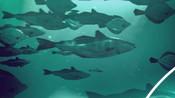 Fish in ocean under water - Ocean to Plate hi-res video stills