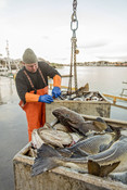 Norwegian cod fishery  in Lofoten