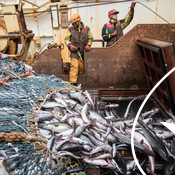 Fishers from the French EURONOR saithe fishery