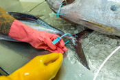 Walker Seafoods Australia albacore tuna