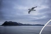 Guls flying alongisde Svalbard research password.