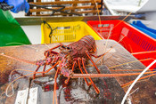 Western Australian rock lobster on table bright