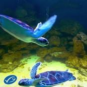 Turtle swimming on loop (with MSC logo)